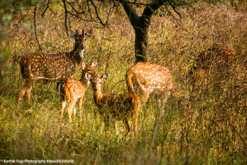 Deer, Rajaji National Park, Uttaranchal, India