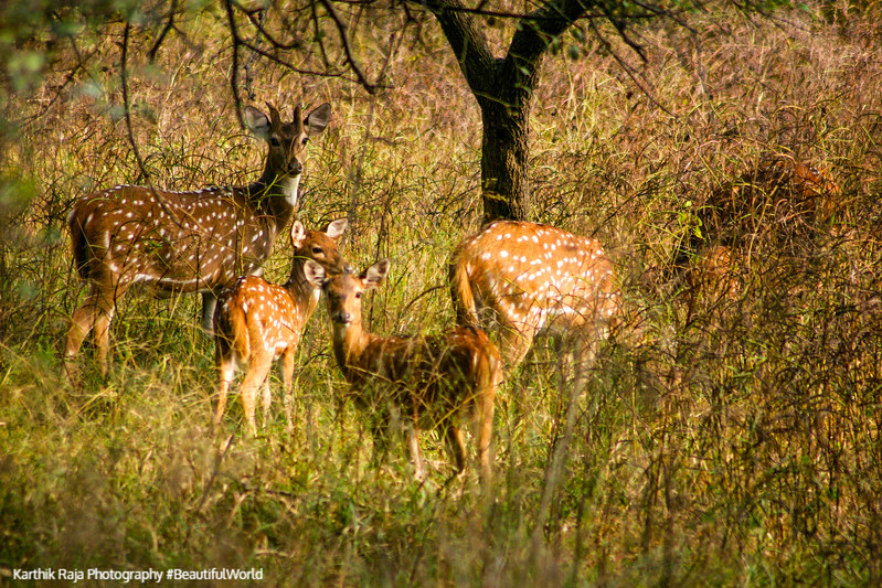 Deer, Rajaji National Park, Uttaranchal, India