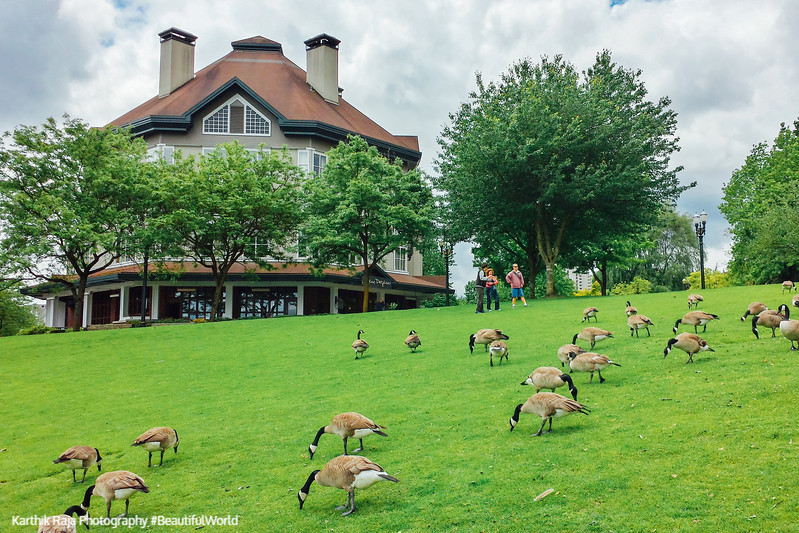 Geese, Governor Tom McCall Waterfront Park, Portland, Oregon