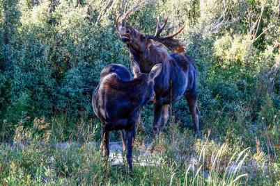 Grand Teton National Park, Wyoming - Moose at Moose Junction