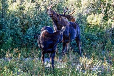 Grand Teton National Park, Wyoming - Moose at Moose Junction