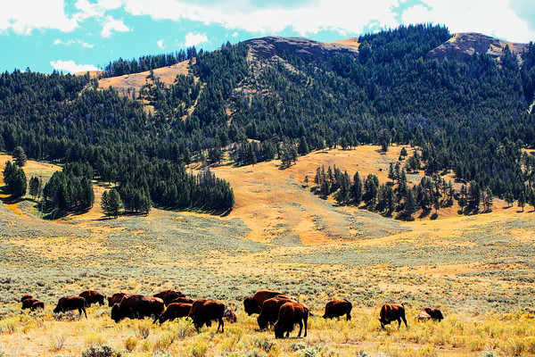 Bison in Lamar Valley - Yellowstone National Park