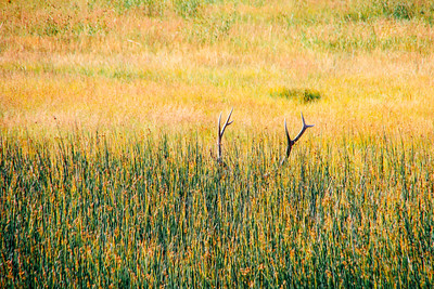 Elk Antlers, Hayden Valley - Yellowstone National Park