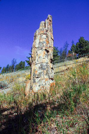 Petrified Tree, North Loop (15 million years old) - Yellowstone