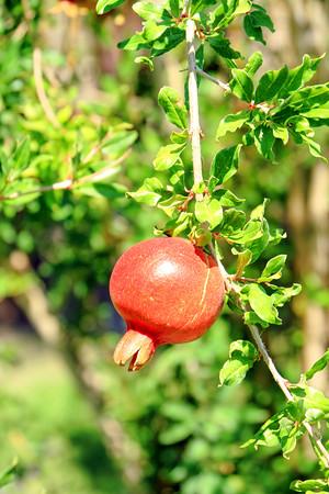 Pomegranate, 29 Palms, Oasis of Mara, Joshua Tree National Park,