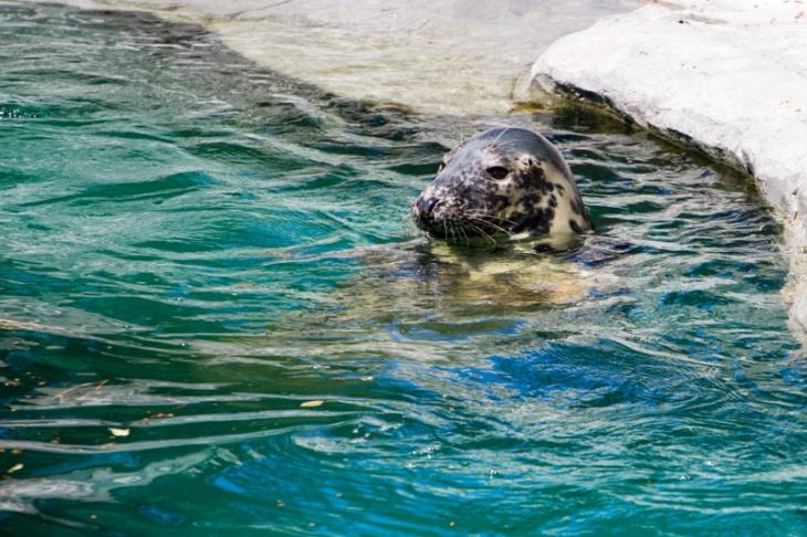 Seal, Zoo, Madrid, Spain