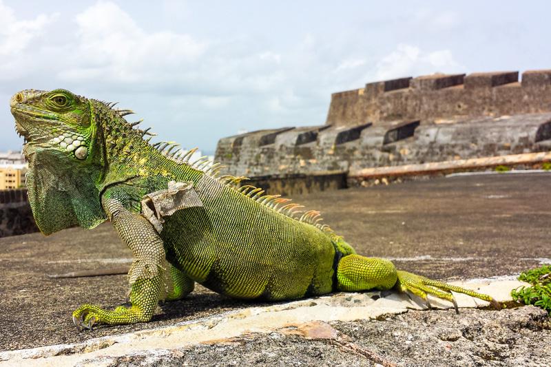 Iguana, Castilo de San Cristobal, Old San Juan