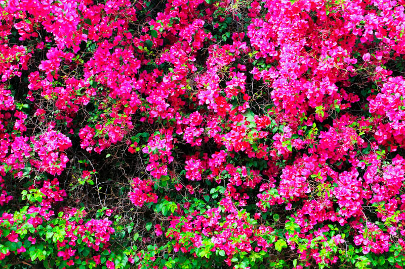 Bougainvillea, Lalbagh Botanical Gardens, Bangalore, Karnataka