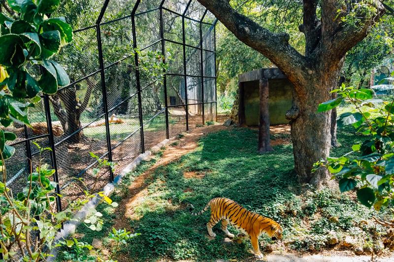 TIger, Mysore zoo, Karnataka, India