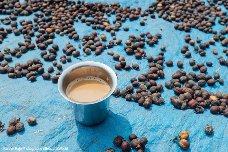 Coffee seeds drying, Kodagu District, Karnataka, India
