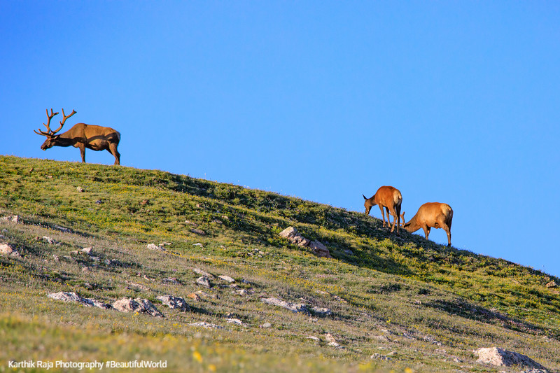 Elk, Alpine Ridge Trail, Alpine Visitor Center, Rocky Mountain N