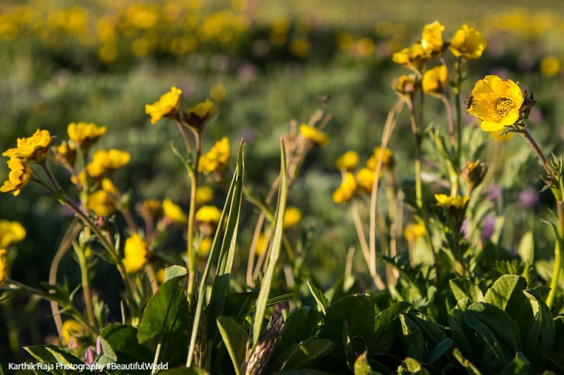 Wildflowers, Alpine Ridge Trail, Alpine Visitor Center, Rocky Mo
