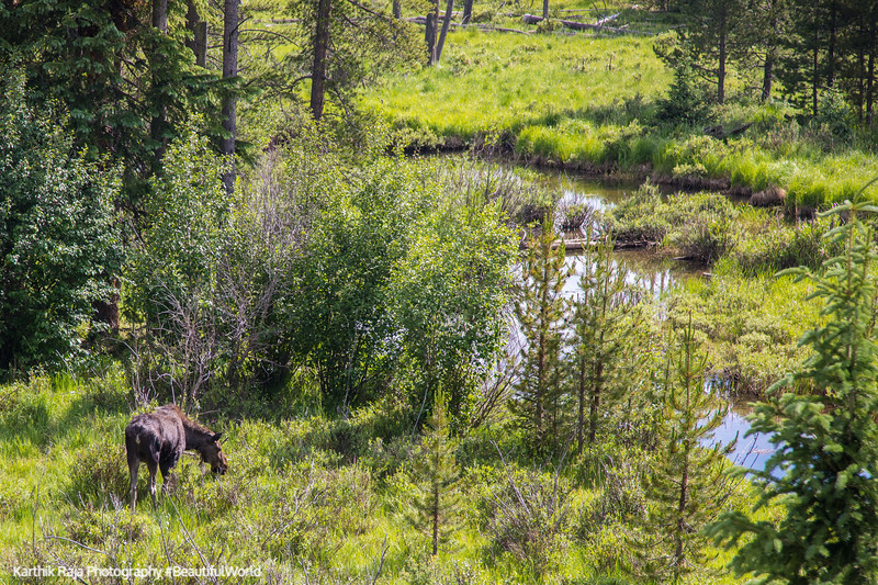 Moose, Coyote Valley Trailhead, Rocky Mountain National Park, Co