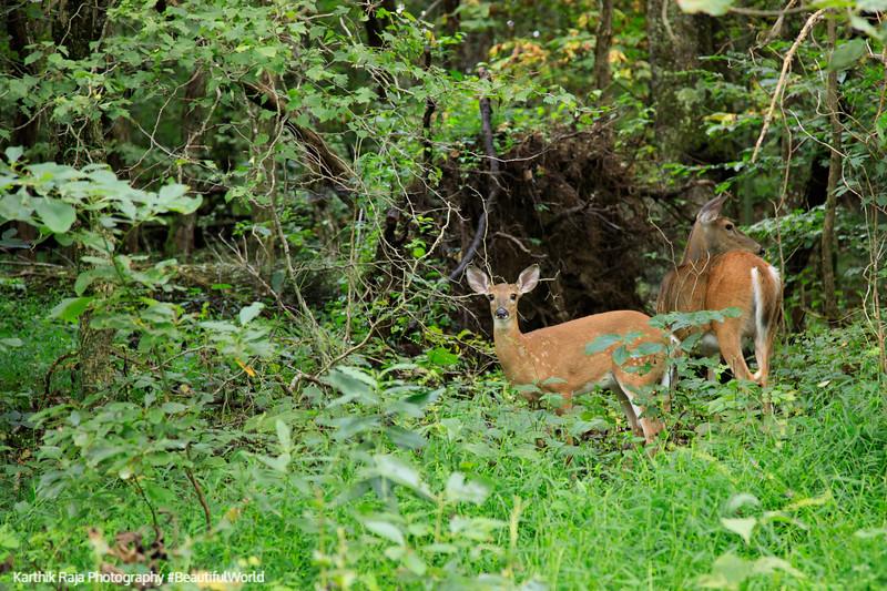 White Tailed Deer, Shenandoah National Park, Virginia