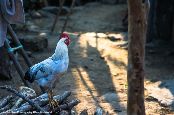 Rooster, Mawlynnong Village, Asia's Cleanest Village,  Meghalaya
