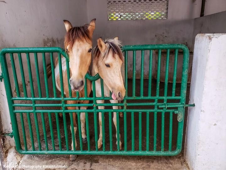 Horses, Stable, Tollygunge Club, Kolkata, India
